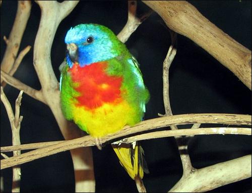 Красногрудый травяной попугайчик (Neophema splendida), Фото фотография картинка птицы