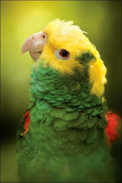 Большой желтоголовый амазон (Amazona ochrocephala oratrix), Фото фотография картинка попугаи птицы