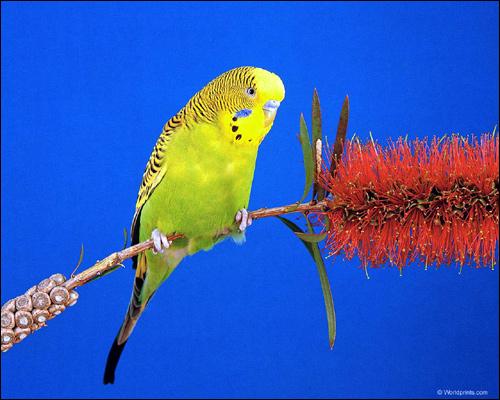 Волнистый попугай (Melopsittacus undulatus), Фото фотография картинка птицы