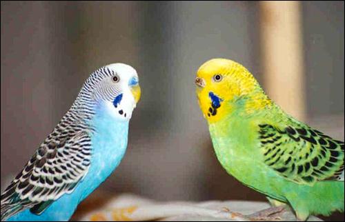 Волнистые попугайчики (Melopsittacus undulatus), Фото фотография картинка птицы