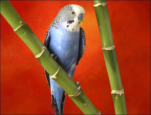 Голубой волнистый попугайчик (Melopsittacus undulatus), Фото фотография картинка птицы