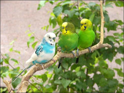 Волнистые попугаи (Melopsittacus undulatus), Фото фотография птицы картинка