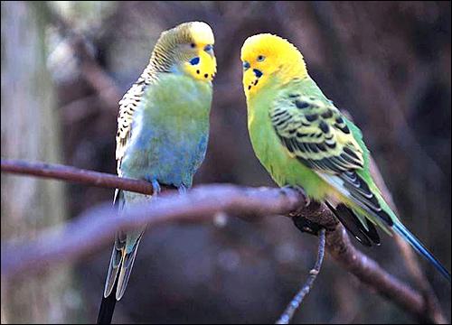 Волнистые попугаи (Melopsittacus undulatus), Фото фотография картинка птицы
