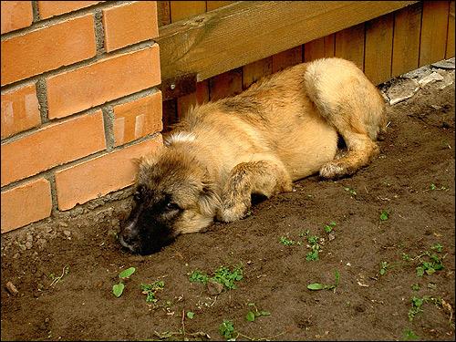Собака, лежащая под забором, Фото фотография картинка