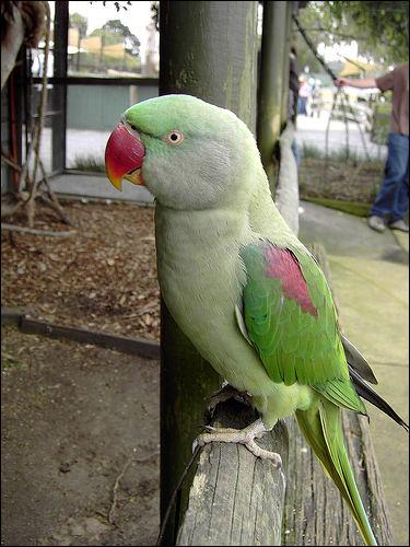 Большой кольчатый попугай (Psittacula eupatria), Фото фотография птицы картинка