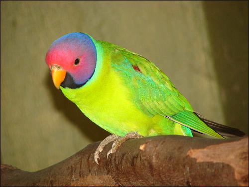 Красноголовый попугай, сливоголовый попугай (Psittacula cyanocephala) Фото фотография картинка птицы