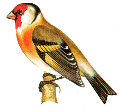 ������������ <strong>�����</strong> (Carduelis carduelis) <strong>�����</strong>, ����� ����� <strong>...</strong>