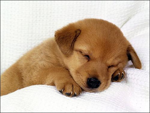 Спящий щенок, Фото фотография собаки
