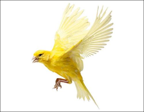 Летящая канарейка, Фото фотография картинка птицы