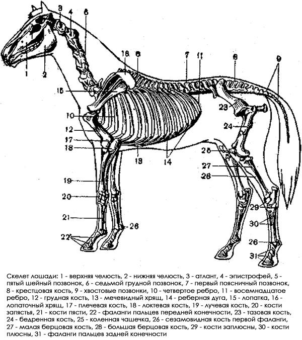 Скелет лошади, рисунок картинка строение животных
