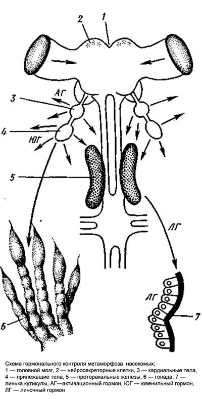 Схема гормонального контроля метаморфоза насекомых, рисунок картинка