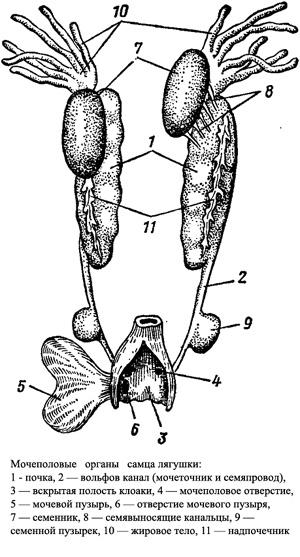 Мочеполовые органы самца лягушки, рисунок картинка схема