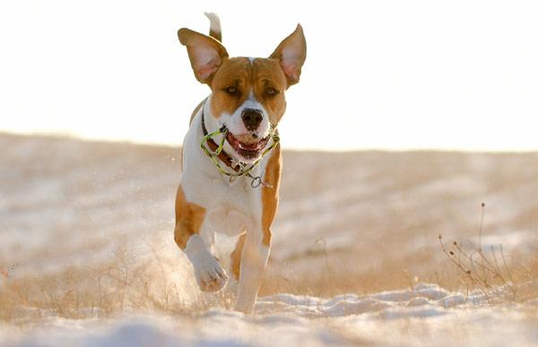 Собака, бегущая на встречу, фото собаки фотография животные картинка