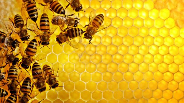 Пчелы на сотах, фото фотография поведение животных картинка