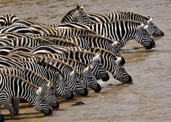 Зебры на водопое, фото африканские животные фотография картинка