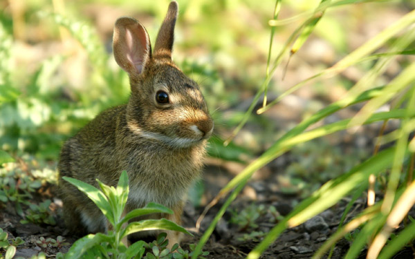 Дикий кролик, или европейский кролик (Oryctolagus cuniculus), фото зейцеобразные животные фотография картинка