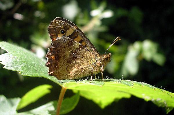Семела, или сатир боровой (Hipparchia semele), фото красивые бабочки фотография картинка