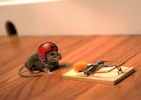 Мышь в каске около мышеловки, фото смешная картинка фотография грызуны