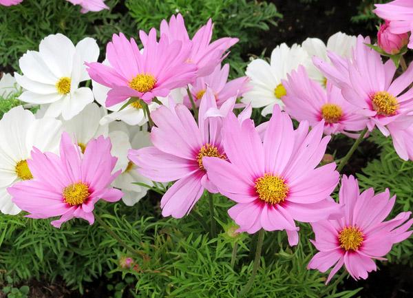 Космос дваждыперистый (Cosmos bipinnatus), Фото садовые цветы фотография растения картинка