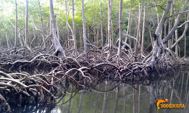 Красное мангровое дерево (Rhizophora mangle), фото растения фотография картинка