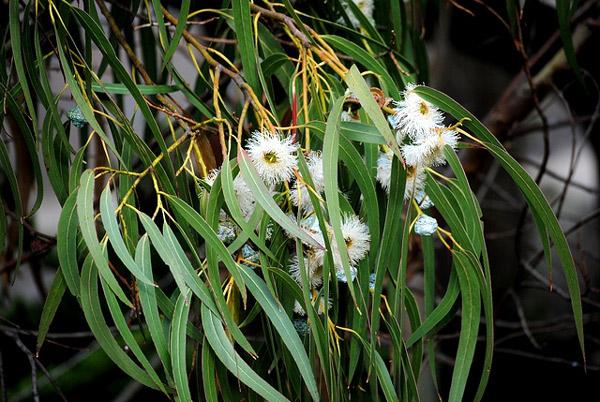 Голубой эвкалипт (Eucalyptus globulus), фото растения деревья фотография картинка