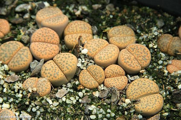 Литопс рыжеголовый (Lithops fulviceps), фото суккулентные растения фотография картинка