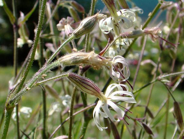 Cмолевка поникшая (Silene nutans), фото гвоздичные растения фотография картинка