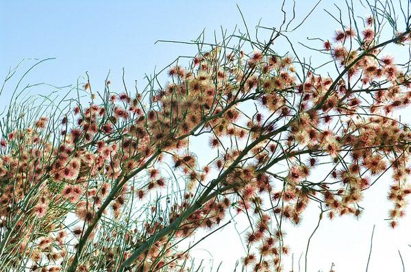Джузгун хохлатый (Calligonum comosum), фото растения пустынь фотография картинка