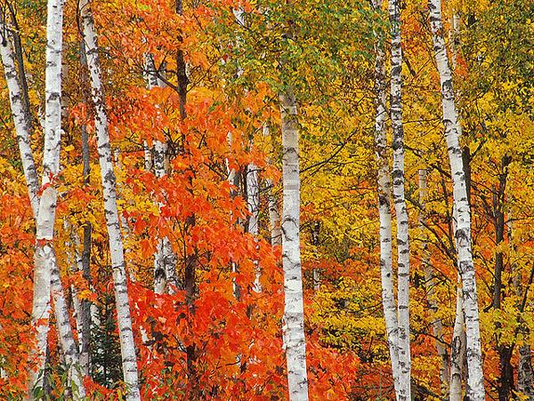 Береза бумажная (Betula papyrifera), фото деревья растения фотография картинка