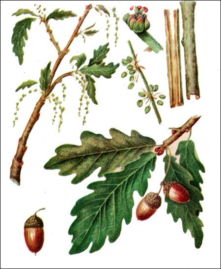 Обыкновенный дуб (Quercus robus)