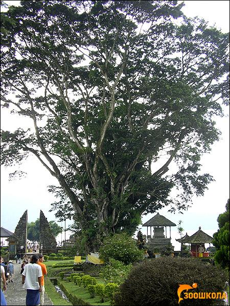 Фикус, о. Бали, Индонезия, фото растения деревья фотография картинка