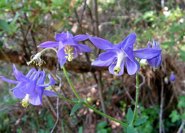 Аквилегия обыкновенная, водосбор обыкновенный (Aquilegia vulgaris), фото растения цветы фотография картинка