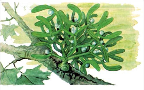 Омела (Viscum) рисунок растения полупаразиты картинка изображение