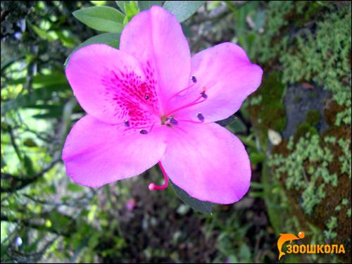 Рододендрон сихотинский (Rhododendron sichotense), фото растения красивые кустарники фотография картинка