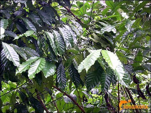 Аравийское кофейное дерево (Coffea arabica), фото деревья растения фотография картинка