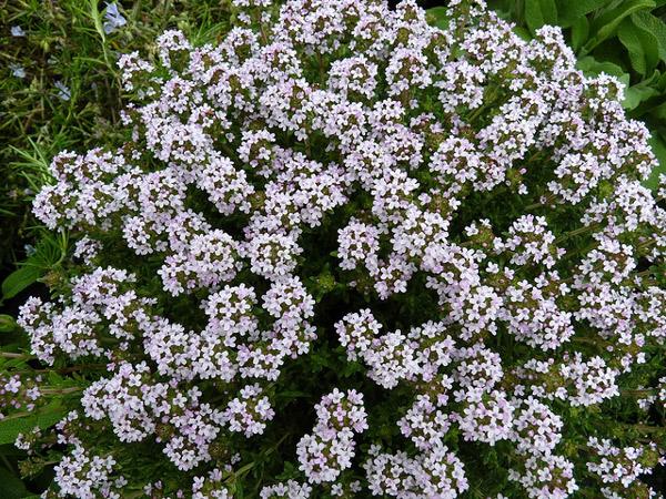Тимьян обыкновенный (Thymus vulgaris), фото растения травы фотография картинка