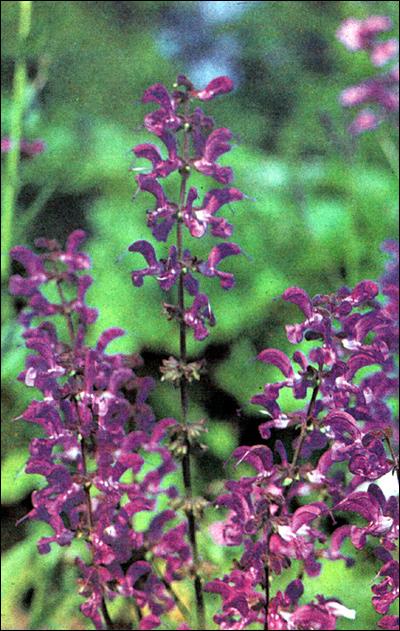 Шалфей (Salvia), фото растения травы фотография картинка
