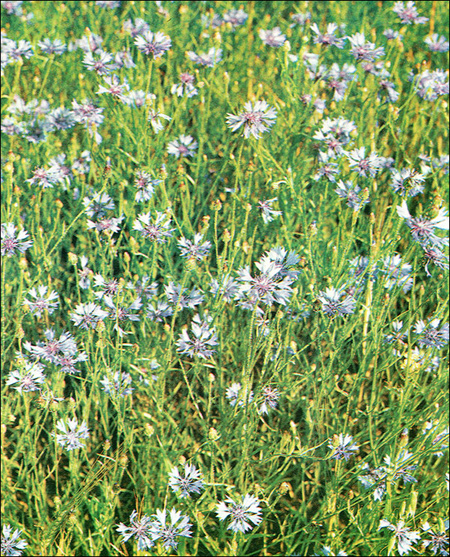 Синие васильки (Centaurea cyanus), фото растения травы фотография картинка