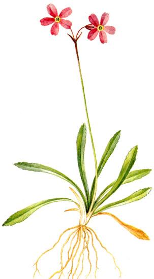 Первоцвет берингийский (Primula beringensis) рисунок картинка растения