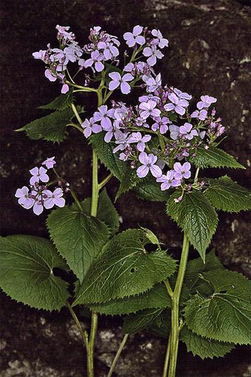 Лунник оживающий (Lunaria rediviva), фото растения фотография картинка