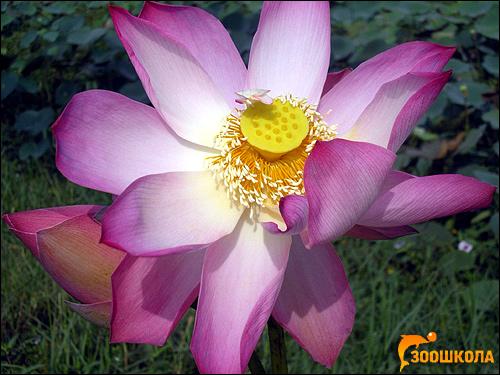 Лотос орехоносный (Nelumbo nucifera), фото фотография растения картинка