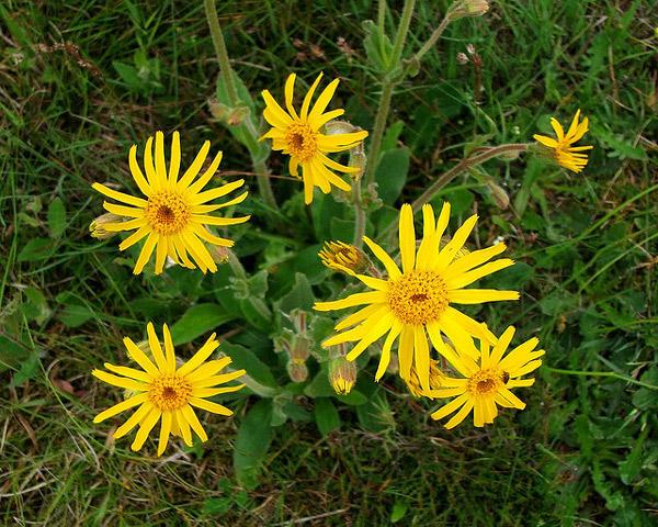 Горная арника (Arnica montana), фото лекарственные растения фотография картинка