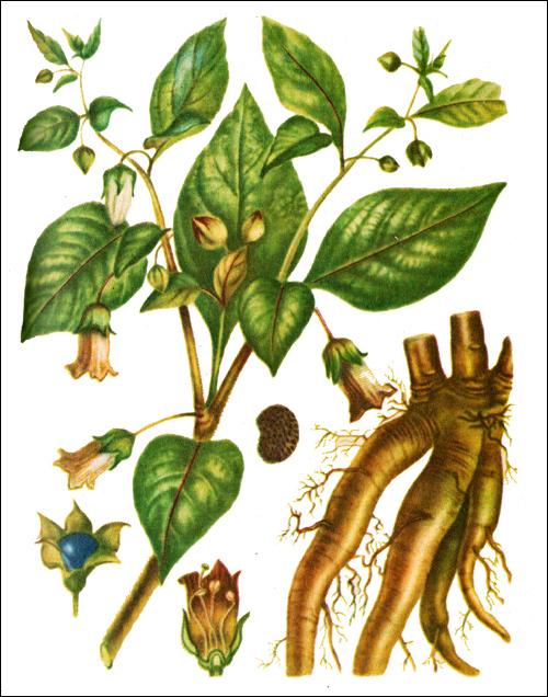 Красавка обыкновенная, белладонна (Atropa belladonna) рисунок картинка лекарственные ядовитые растения