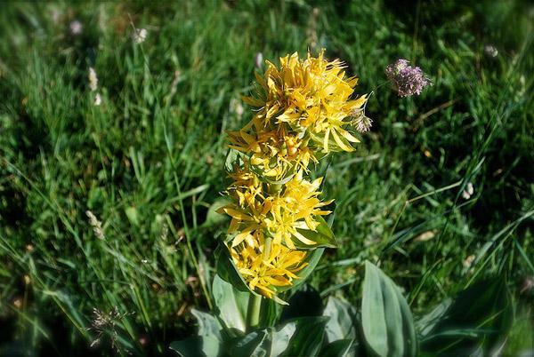 Горечавка желтая (Gentiana lutea), фото лекарственные растения травы фотография картинка
