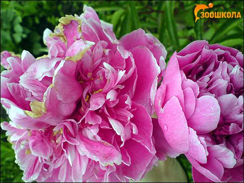 Садовые пионы (Paeonia), фото растения цветы фотография картинка