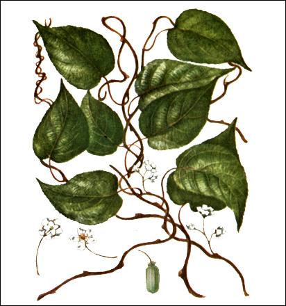 Актинидия коломикта (Actinidia kolomikta), рисунок картинка растения