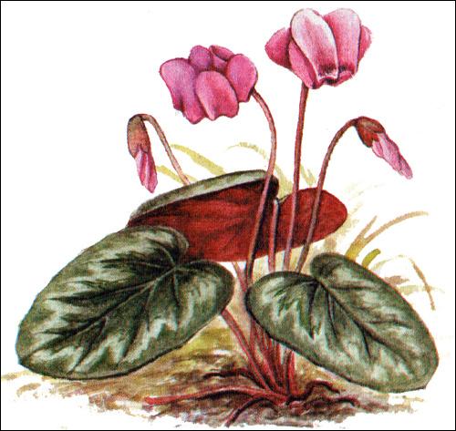 Цикламен Кузнецова (Cyclamen kuznetzovii), рисунок картинка редкие цветы