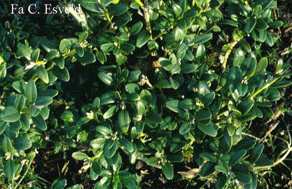 Самшит колхидский (Buxus colchica), фото растения деревья фотография картинка