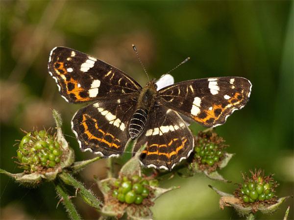 Пестрокрыльница изменчивая (Araschnia levana). Фото, фотография бабочки