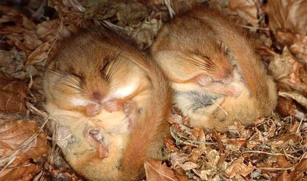 Мыши-малютки в анабиозе (зимней спячке). Фото, фотография картинка
